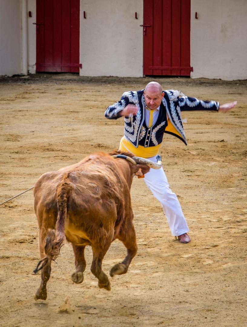 course vaches landaises Le Houga