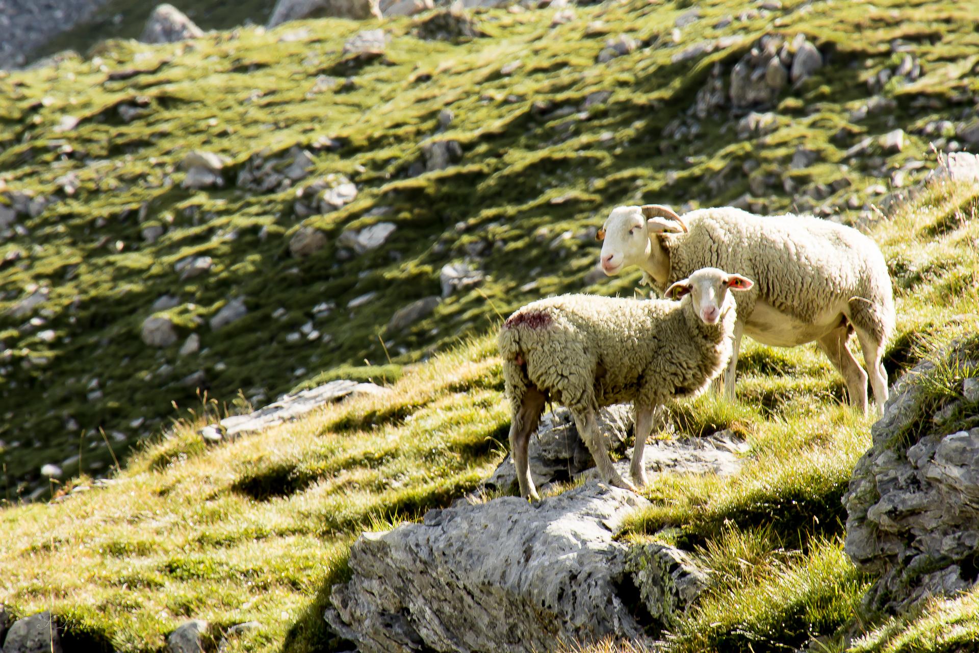 moutons-curieux-troumousse-9039